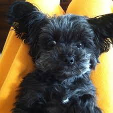 how to cut a yorkie poo s hair yorkie poo 3 love my lucy s ears just like these my stuff