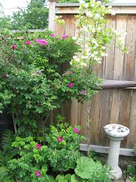 companion plants for jasmine what grows well with jasmine plants