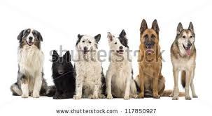 australian shepherd vs sheltie portrait group dogs front white background stock photo 110962160