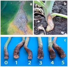 native plants alberta plants free full text blackleg leptosphaeria maculans
