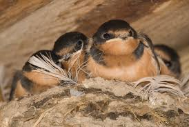 Barn Swallow Nest Pictures Barns For Barn Swallows Earth Rangers Wild Wire Blog