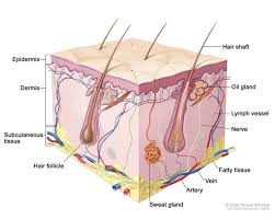 Anatomy And Physiology Definitions Best 25 Layers Of The Epidermis Ideas On Pinterest Layers Of