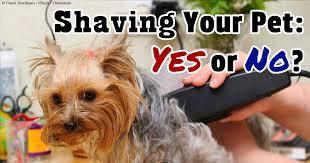 shaving a australian shepherd should you shave your pet u0027s coat or not