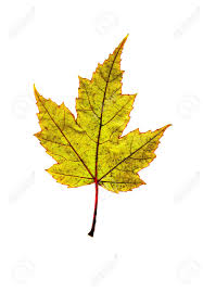 maple leaf in fall colors showing patterns and veins stock photo