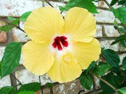 file hibiscus yellow jpg wikipedia