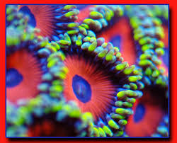 where can i buy candy apple all corals at aquariumdepot are 50 through this weekend