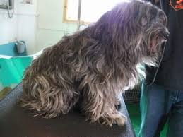 bearded collie x terrier dog grooming photos by dirty dogs