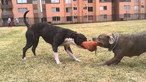 american pitbull terrier info american pitbull terrier vs stafford shire terrier youtube