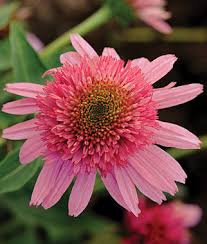 echinacea flower scoop gum echinacea seeds and plants perennial