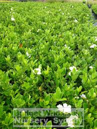 gardenia florida 200mm pot budget wholesale nursery sydney