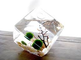 Pet Home Decor by Marimo Moss Ball Ice Cube Aquarium Terrarium 15 Plants And