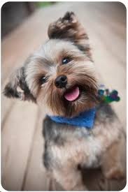 stunning yorkie hair cuts 162 best yorkies images on pinterest yorkies yorkie and