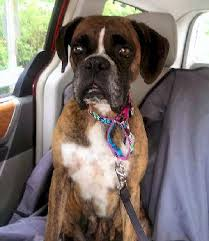 3 legged boxer dog adopt a boxer rescue not for profit 501c 3 charitable