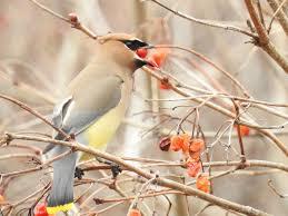 bedford audubon society great backyard bird count