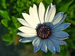 free picture daisy daisies flowers petals