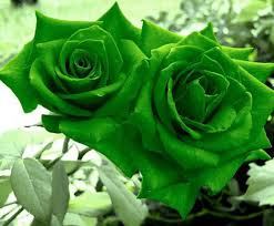 green roses futaba green seed price in india buy futaba green seed