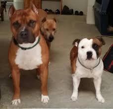 american pitbull terrier vs amstaff nevada kennels apbt u0027s and sbt u0027s