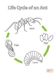 life cycle of an ant coloring page free printable coloring pages