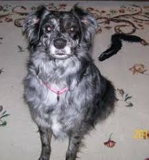 australian shepherd joliet adopt marabella on australian shepherd dogs australian shepherd