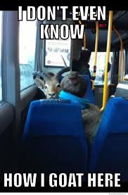 Meme Bus - confused goat riding a bus weknowmemes