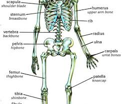 skeletal system legs and feet anatomy anatomy diagram pics