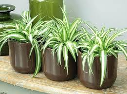 plante verte chambre à coucher quelle plante pour une chambre chlorophytum quelle plante verte
