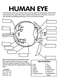 Anatomy Of Human Eye Ppt Top 10 Anatomy Coloring Pages For Your Toddler Body Anatomy