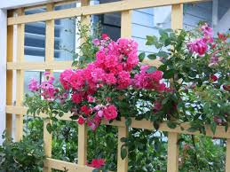 trellis roses trellises an appealing addition to a garden u2013 orange county register