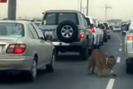 lexus rx qatar one time a tiger got loose on the streets of qatar