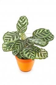 Indoor Plants Low Light by Indoor Plants Low Light Calathea Indoor Low Light Plants