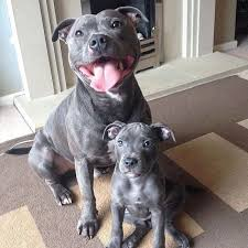 american pitbull terrier dog images 50 best american staffordshire terriers images on pinterest