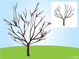 prune a cherry tree cherry tree cherries and gardens