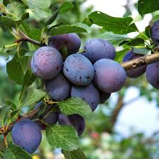 Patio Fruit Trees Uk the walnut tree company walnut fruit trees walnut timber trees