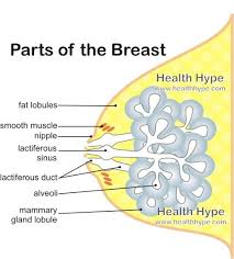 Pregnant Female Anatomy Diagram Female Breast Anatomy Function Parts And Pictures Healthhype Com