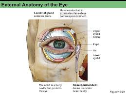 Eye Ducts Anatomy Chapter 10c Sensory Physiology Ppt Video Online Download