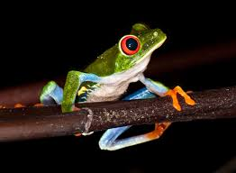 frogs have unique ability to see color in extreme darkness study