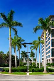 sylvester palm tree prices buy royal palm trees for sale in orlando kissimmee