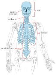Human Vertebral Column Anatomy Vertebral Column Anatomy And Physiology Study Notes