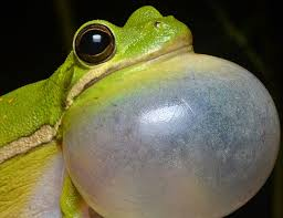 green treefrog expectancy