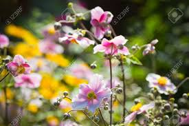 pink japanese anemone or anemone japonica flowers blooming in