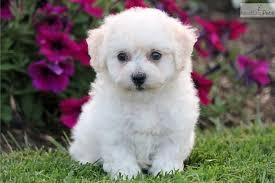bichon frise puppy 8 weeks loops bichon frise puppy for sale near lancaster pennsylvania