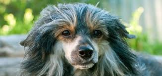 loss of dog what causes hair loss in dogs