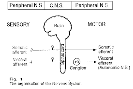 Anatomy And Physiology Nervous System Study Guide Nervous System Notes