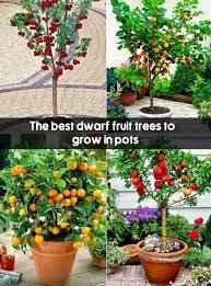 the best fruit trees to grow in pots fruit gardening my