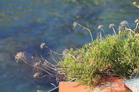 ephedra plant wikipedia angiosperms and gymnosperms
