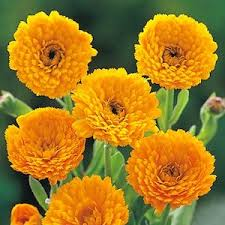 Calendula Flowers Calendula Seeds 9 Top Calendulas Annual Flower Seeds
