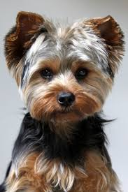 haircuts for yorkie dogs females oliver is so handsome with his new haircut yorkie puppy bits and