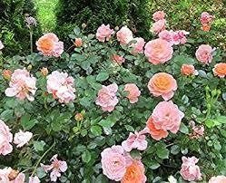 drift roses apricot drift groundcover quart pot garden