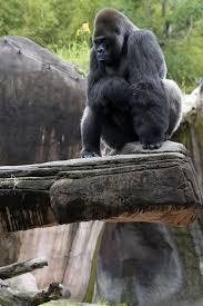 Gorilla by Audubon Zoo To Bid Farewell To Casey And Berani Gorilla And