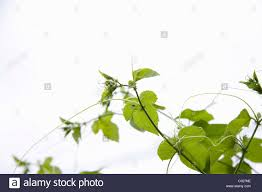 native plants passionflower vine grows wild growing passionfruit plant passiflora stock photo royalty
